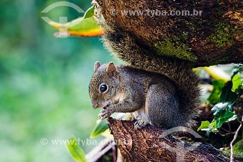 Esquilo na Área de Proteção Ambiental da Serrinha do Alambari  - Resende - Rio de Janeiro (RJ) - Brasil