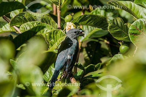 Sanhaçu-cinzento (Tangara sayaca) comendo goiabas no Parque Nacional de Itatiaia  - Itatiaia - Rio de Janeiro (RJ) - Brasil