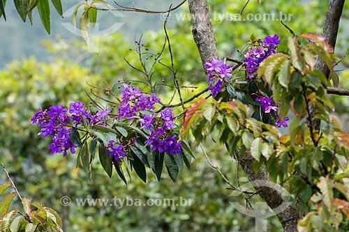 Flores de Quaresmeira (Tibouchina granulosa) no Parque Nacional de Itatiaia  - Itatiaia - Rio de Janeiro (RJ) - Brasil