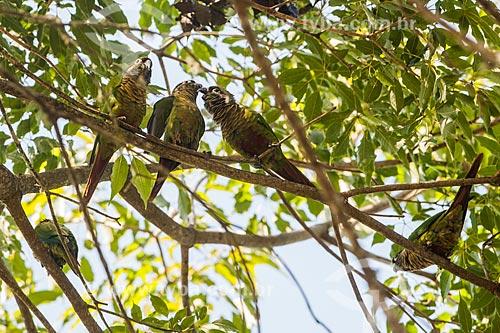 Tiriba-de-testa-vermelha (Pyrrhura frontalis) no Parque Nacional de Itatiaia  - Itatiaia - Rio de Janeiro (RJ) - Brasil