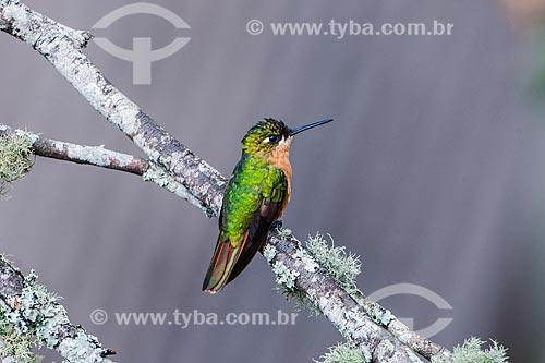 Beija-flor-rubi (Clytolaema rubricauda) no Parque Nacional de Itatiaia  - Itatiaia - Rio de Janeiro (RJ) - Brasil