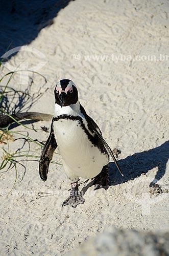 Pinguim africano (Spheniscus demersus) na Praia dos Rochedos  - Cidade do Cabo - Província do Cabo Ocidental - África do Sul