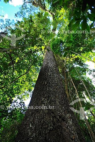 Detalhe do tronco do Jequitibá-rosa (Cariniana legalis) na Reserva Biológica de Sooretama  - Linhares - Espírito Santo (ES) - Brasil