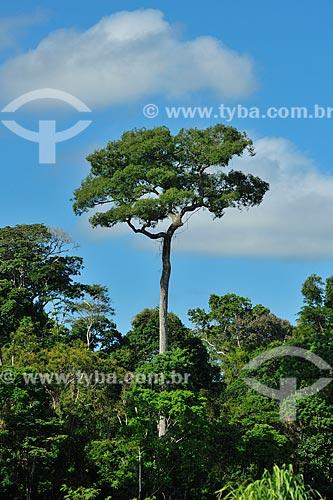 Jequitibá-rosa (Cariniana legalis) na Reserva Biológica de Sooretama  - Linhares - Espírito Santo (ES) - Brasil