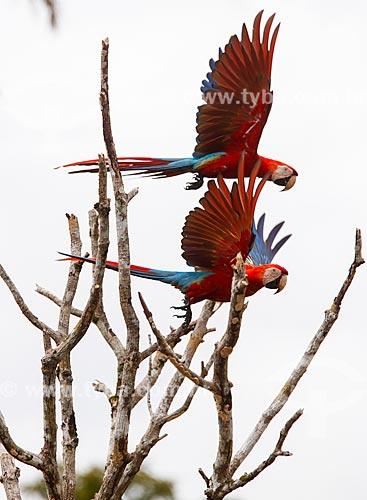 Arara-vermelha (Ara chloropterus) - também conhecida como araracanga ou arara-macau - na Reserva Biológica da Cachoeira do Santuário  - Presidente Figueiredo - Amazonas (AM) - Brasil