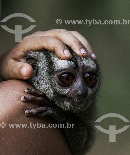 Detalhe de garoto ribeirinho segurando um macaco-da-noite (Aotus Trivirgatus)  - Amazonas (AM) - Brasil