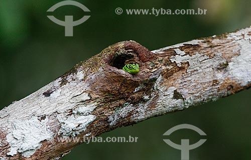 Toca de lagarto no galho de árvore na Floresta Amazônica  - Amazonas (AM) - Brasil