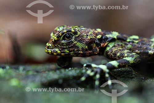 Detalhe do Tamacuaré (Uranoscodon superciliosus) - também conhecido como Tamaquaré  - Amazonas (AM) - Brasil