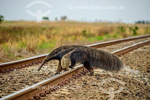 Tamanduá-bandeira (Myrmecophaga tridactyla) atravessando ferrovia próximo à cidade de Costa Rica  - Costa Rica - Mato Grosso do Sul (MS) - Brasil