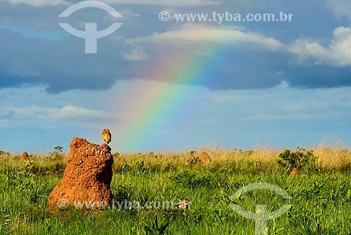 Coruja-buraqueira (Athene cunicularia, anteriormente Speotyto cunicularia) - também conhecida como caburé-do-campo ou coruja-do-campo - pousada sobre cupinzeiros no Parque Nacional das Emas  - Mineiros - Goiás (GO) - Brasil