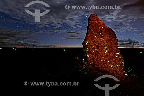 Cupinzeiro com bioluminescência - larvas do vaga-lume Pyrearinus termitilluminans - em noites úmidas, mornas, sem vento e lua, as larvas aparecem do lado de fora dos túneis,