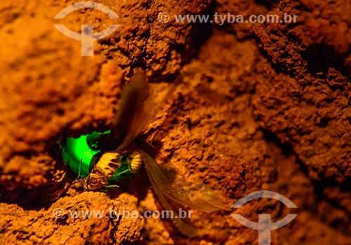 Detalhe da larvas do vaga-lume Pyrearinus termitilluminans - em noites úmidas, mornas, sem vento e lua, as larvas aparecem do lado de fora dos túneis,