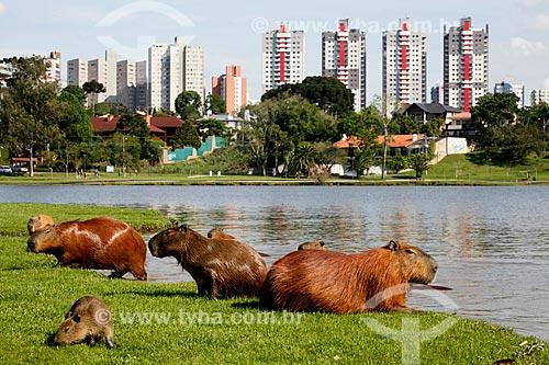 Capivaras (Hydrochoerus hydrochaeris) no Parque Barigui com prédios ao fundo  - Curitiba - Paraná (PR) - Brasil