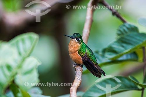 Detalhe do Beija-flor-rubi (Clytolaema rubricauda) no Parque Nacional de Itatiaia  - Itatiaia - Rio de Janeiro (RJ) - Brasil