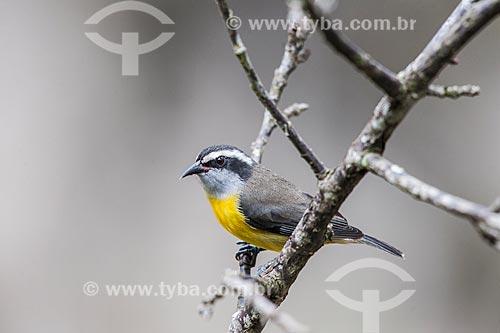 Detalhe de Cambacica (Coereba flaveola) - também conhecido como sebinho, sebito ou caga-sebo - no Parque Nacional de Itatiaia  - Itatiaia - Rio de Janeiro (RJ) - Brasil