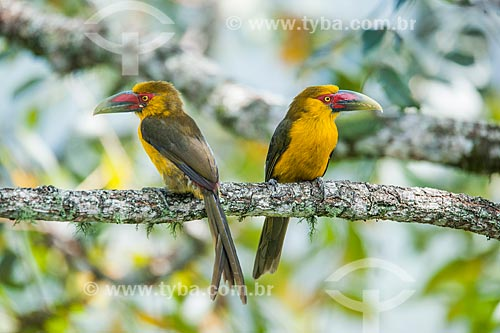 Detalhe de Araçaris-banana (Pteroglossus bailloni) no Parque Nacional de Itatiaia  - Itatiaia - Rio de Janeiro (RJ) - Brasil