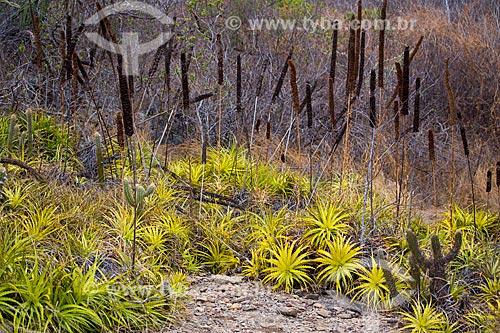 Macambira (Bromelia laciniosa) na caatinga  - Quixadá - Ceará (CE) - Brasil