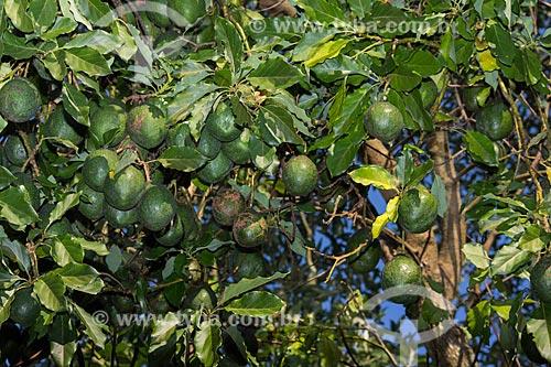 Abacate em pomar caseiro  - Rio de Janeiro - Rio de Janeiro (RJ) - Brasil