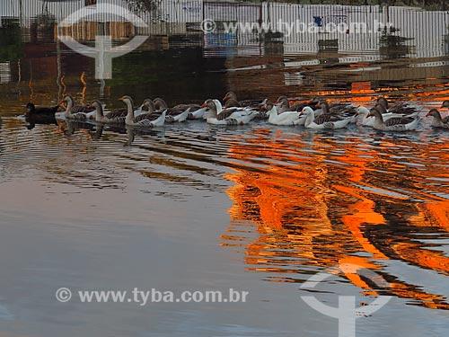 Gansos no lago  - Canela - Rio Grande do Sul (RS) - Brasil