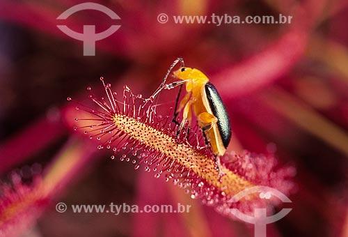 Inseto sobre drosera capensis  - Brasil