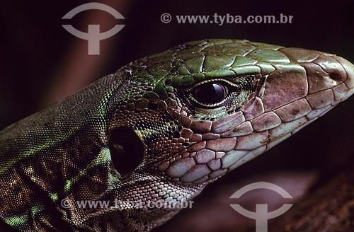 Detalhe do calango-verde (Ameiva ameiva)  - Brasil