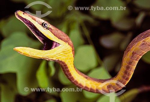 Detalhe da Bicuda (Oxybelis aeneus)  - Brasil