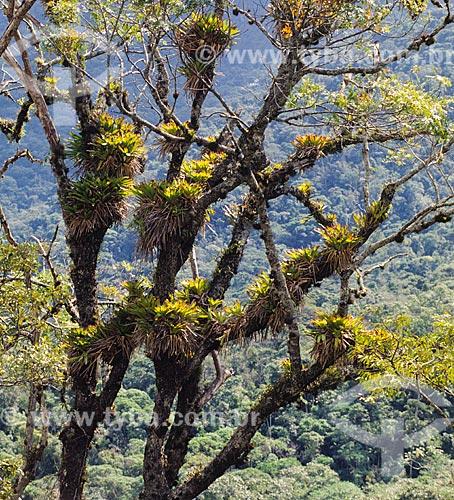 Árvore com plantas epífitas  - Brasil