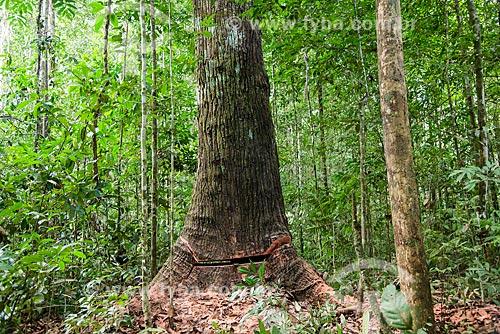 Detalhe de queda de árvore no Centro de Manejo Florestal Roberto Bauch  - Paragominas - Pará (PA) - Brasil