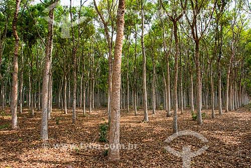 Área de reflorestamento com 10 anos utilizando o mogno (Swietenia macrophylla)  - Paragominas - Pará (PA) - Brasil
