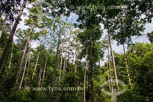 Antiga área de cipozal reflorestada utilizando o Paricá (Schizolobium parahyba var amazonicum), Mogno (Swietenia macrophylla) e Ipê  - Paragominas - Pará (PA) - Brasil