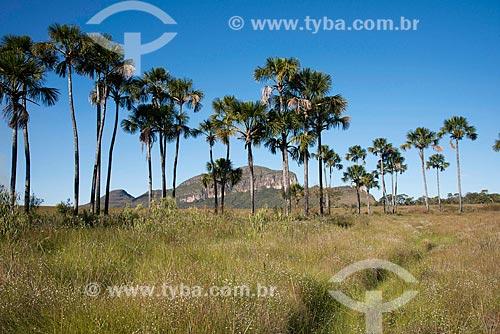 Buritis (Mauritia flexuosa) no Jardim de Maytrea com o Morro da Baleia ao fundo  - Alto Paraíso de Goiás - Goiás (GO) - Brasil