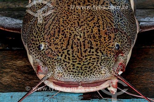 Detalhe da cabeça do Pirarara (Phractocephalus hemioliopterus)  - Manaus - Amazonas (AM) - Brasil
