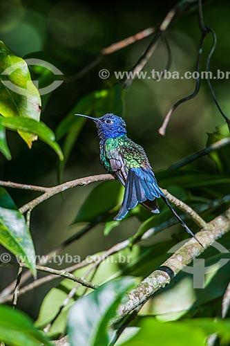Detalhe de Beija-flor na Área de Proteção Ambiental da Serrinha do Alambari  - Resende - Rio de Janeiro (RJ) - Brasil