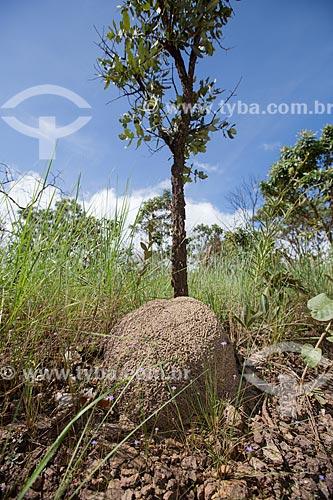 Cupinzeiro no Parque Estadual dos Pireneus  - Pirenópolis - Goiás (GO) - Brasil