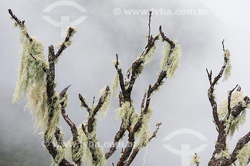 Tronco de árvore coberto por musgos - Cume do Morro da Cruz - Parque Nacional da Serra dos Órgãos  - Teresópolis - Rio de Janeiro (RJ) - Brasil