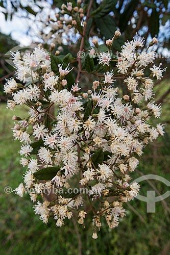 Detalhe de flores no Parque Estadual dos Pireneus  - Pirenópolis - Goiás (GO) - Brasil