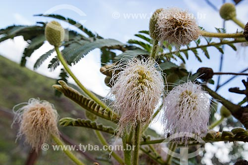Detalhe de flores da Mimosa (Mimosa regina) no Parque Estadual dos Pireneus  - Pirenópolis - Goiás (GO) - Brasil
