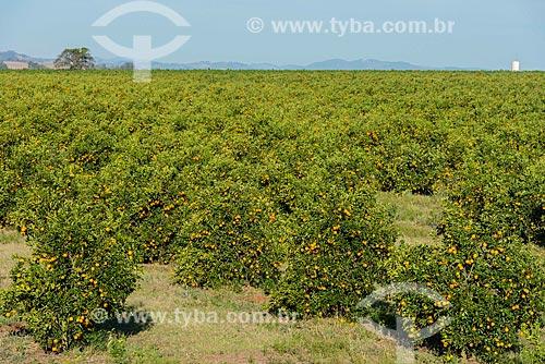 Pomar de laranjas na cidade de Aguaí  - Aguaí - São Paulo (SP) - Brasil