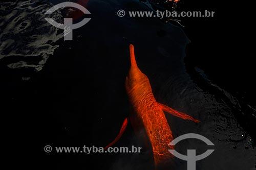 Boto-cor-de-rosa (Inia geoffrensis) no Rio Negro  - Manaus - Amazonas (AM) - Brasil