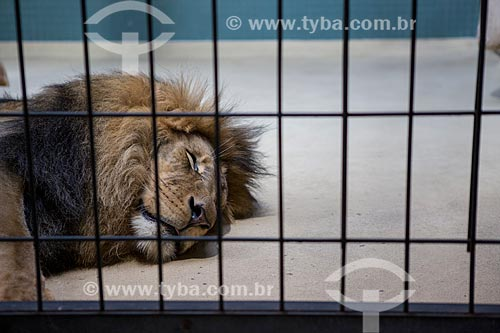 Leão (Panthera leo) no Zoologischer Garten Berlin (Jardim Zoológico de Berlim)  - Berlim - Berlim - Alemanha