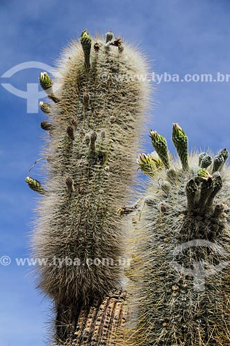 Detalhe de cactos na Isla Pescado (Ilha do Pescado) - também conhecida como Isla Incahuasi  - Uyuni - Departamento Potosí - Bolívia