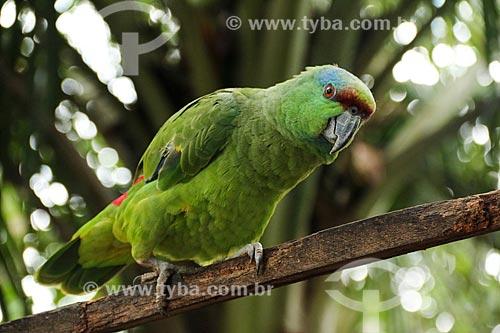 Detalhe do Papagaio Papa-Cacau (Amazona festiva) - também conhecido como Papagaio-da-Várzea  - Parintins - Amazonas (AM) - Brasil