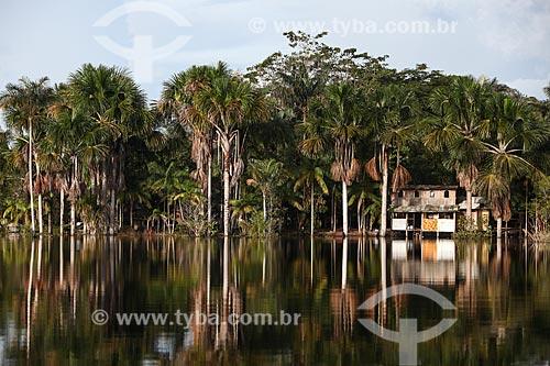 Buritis (Mauritia flexuosa) às margens do Rio Negro  - Manaus - Amazonas (AM) - Brasil