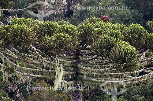 Araucária (Araucaria angustifolia) na Serra Gaúcha  - Canela - Rio Grande do Sul (RS) - Brasil