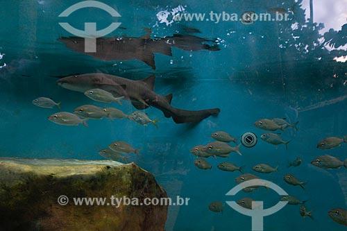 Tubarão-enfermeiro (Ginglymostoma cirratum) - também conhecido como Tubarão-lixa ou Lambaru - no aquário do Projeto TAMAR  - Mata de São João - Bahia (BA) - Brasil
