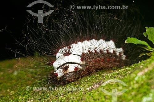 Lagarta Taturana (Tatarana)  - Niterói - Rio de Janeiro (RJ) - Brasil