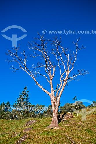 Árvore seca após queda das folhas  - Bocaina de Minas - Minas Gerais (MG) - Brasil