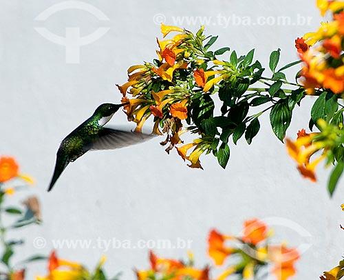 Beija-flor  - Bocaina de Minas - Minas Gerais (MG) - Brasil