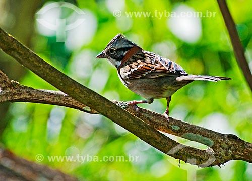 Pássaro - Tico-tico (Zonotrichia capensis)  - Bocaina de Minas - Minas Gerais (MG) - Brasil