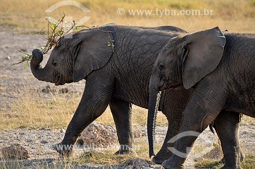 Elefantes no Parque Nacional de Amboseli  - Kajiado - Província do Vale do Rift - Quênia